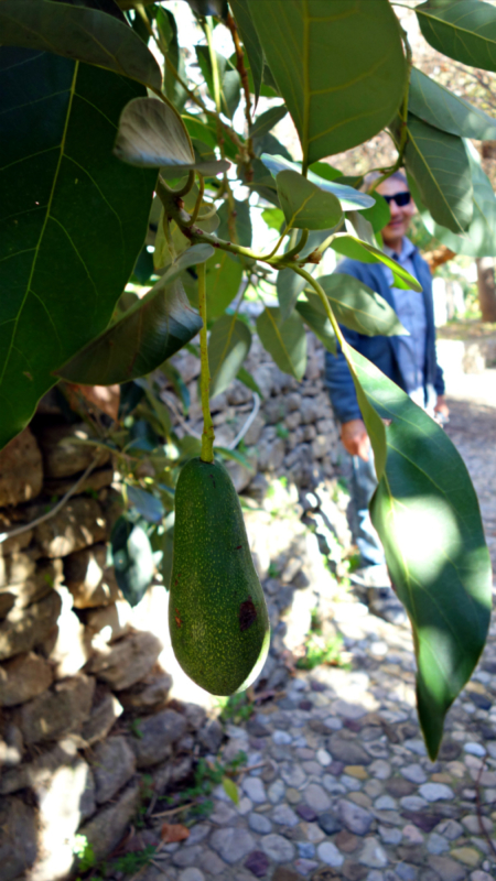 Descalzos Viejos Avocado Fruit
